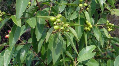 Sandelholz Duft: Indischer Sandelholzbaum (Santalum)